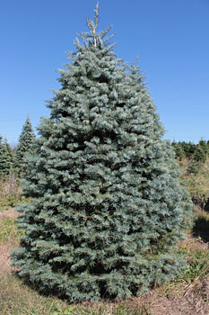 NYC Tree Lady - Purchase Concolor Christmas Tree